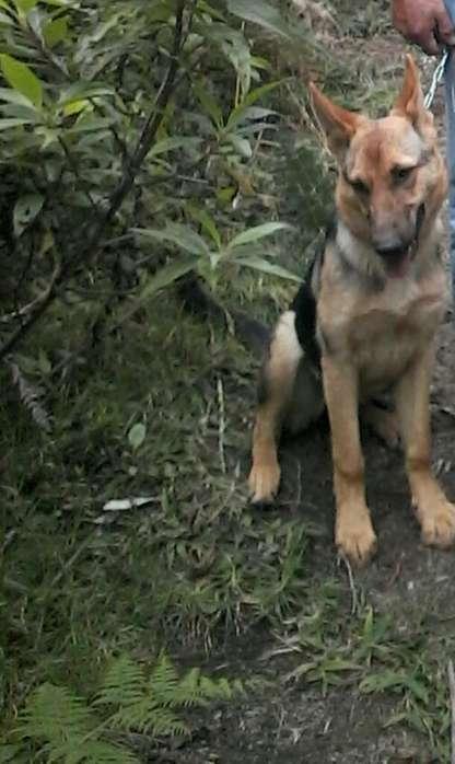 Cachorra Pastor Aleman 3163518906