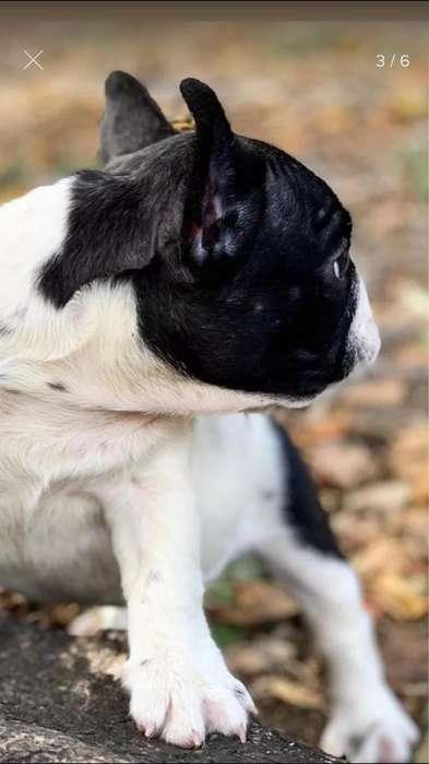 Bulldog Frances Vaca Hembra