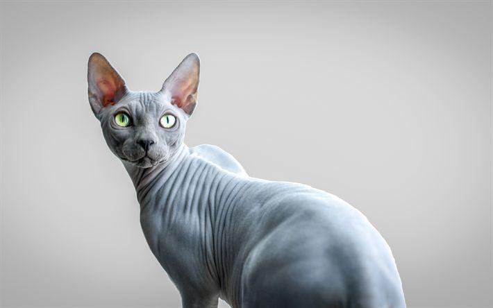 gatos esfinge (sin pelo sphinx) de raza pura disponible en pereira
