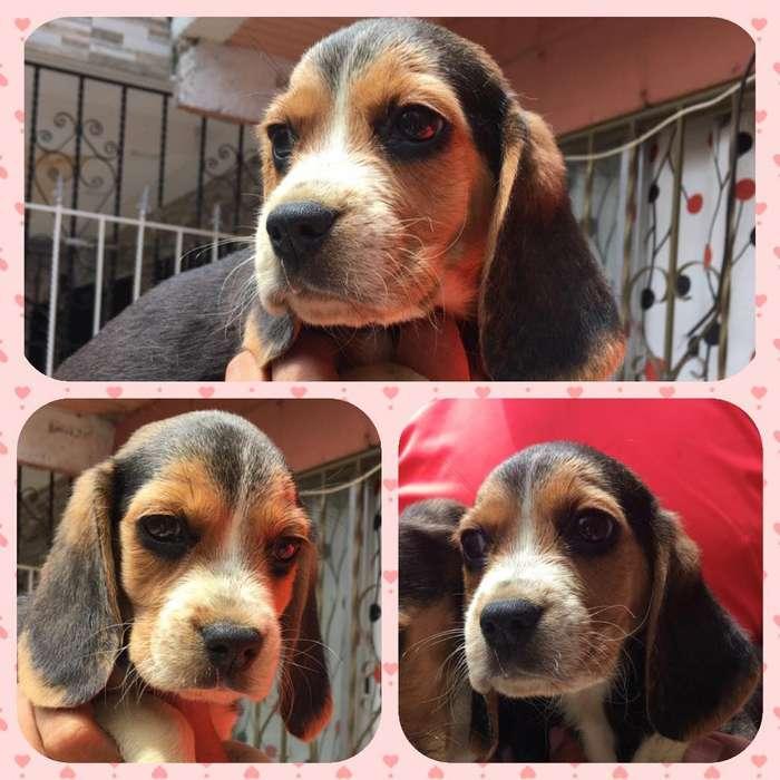 Exóticos <strong>beagle</strong> Tricolor