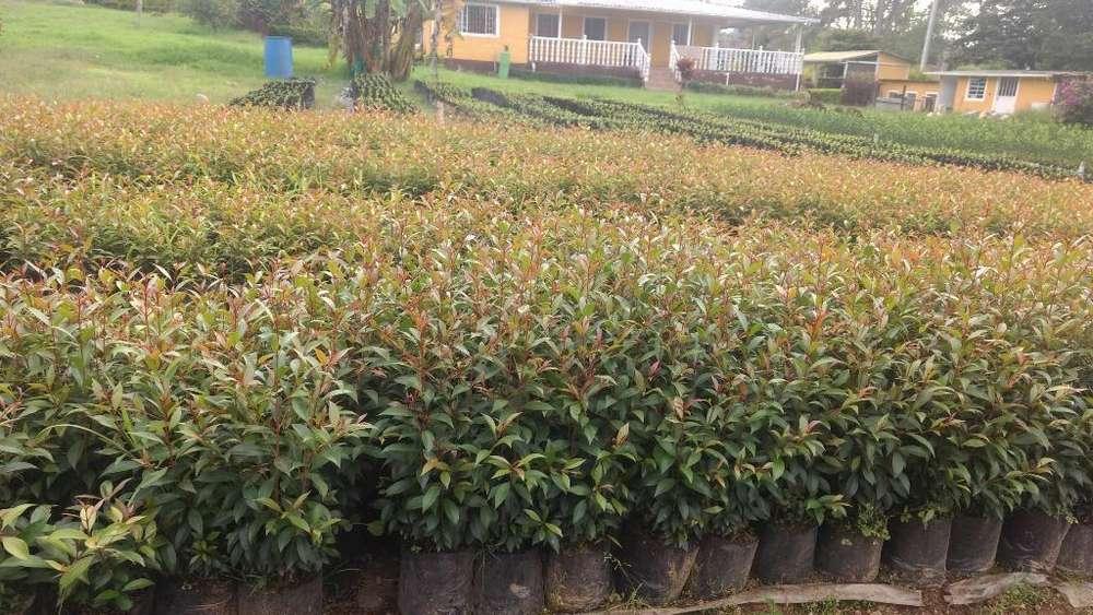 Plantas Eugenias Y Duranta Cerca Viva