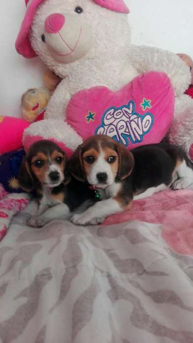 Beagles <strong>cachorro</strong>s Macho Y Hembra
