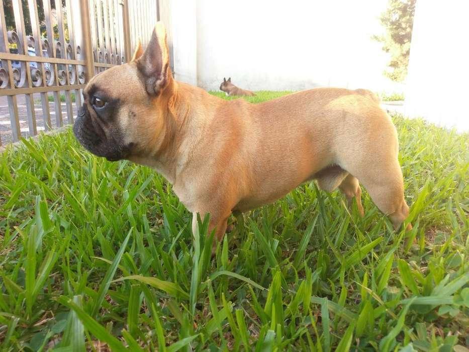 Macho Bulldog Francés para Servicio