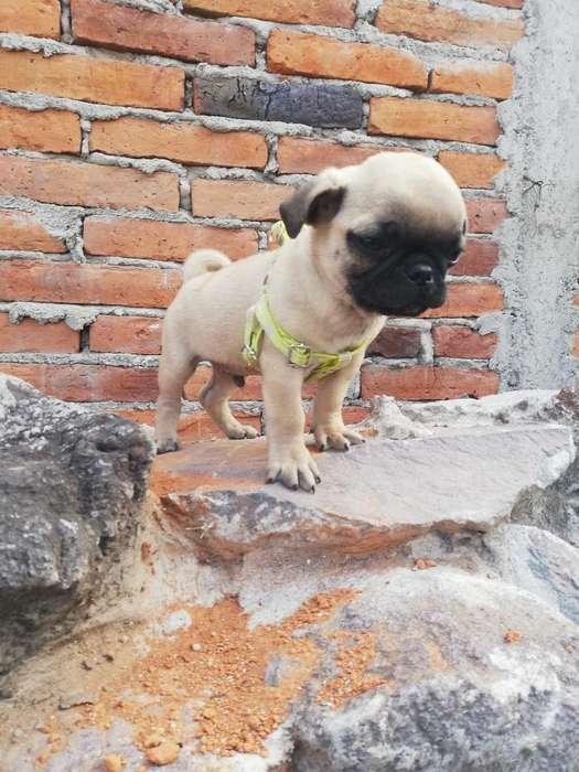 Pug Carolina <strong>cachorro</strong>