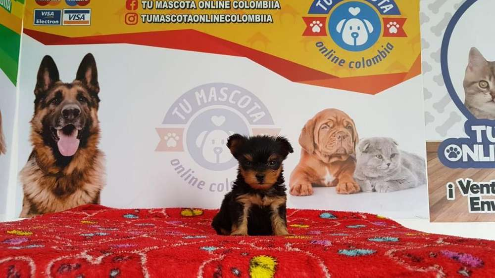 Originales Yorkshire Terrier Tacita Bell