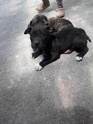 cachorros raza pitbull madre y padre puros
