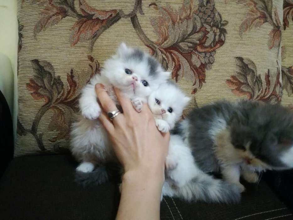 Gatoss Extremo