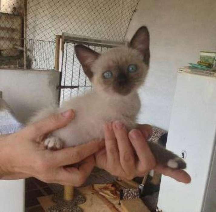 Hermosos <strong>gato</strong>s Siames Disponibles