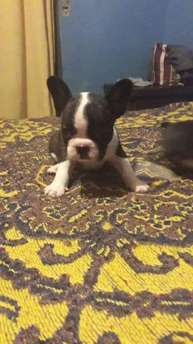 Bulldog Frances Hembras Vaquitas