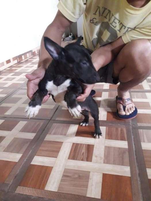 Cachorrita bull terrier mini riobamba