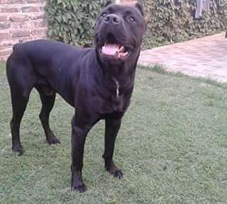 Cachorros Cane Corso Animales Y Mascotas En Argentina Olx