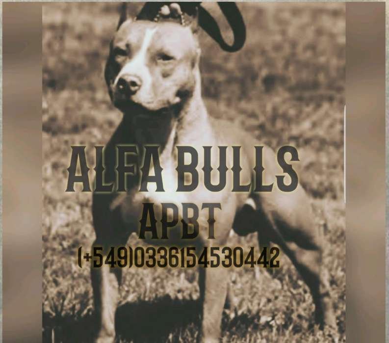 Cachorros Pitbull Blue Y Silver Tricolor