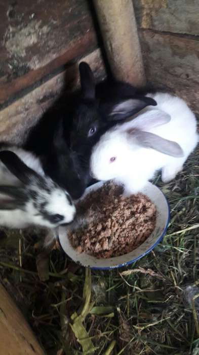 Conejos de Raza.