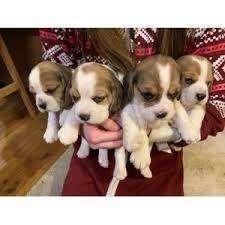 <strong>beagle</strong> mini hermosos