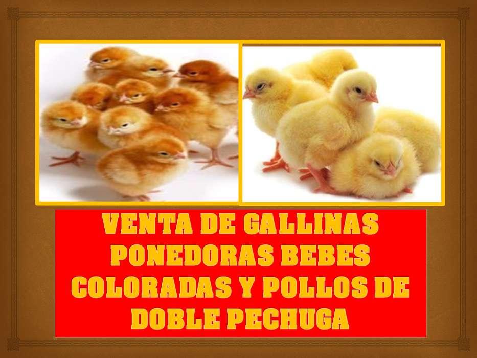 gallinas ponedoras bebes, doble pechuga y criollos y otra lineas