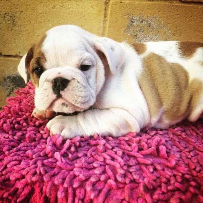 Bulldog Ingles Hembra ... Tarjetas