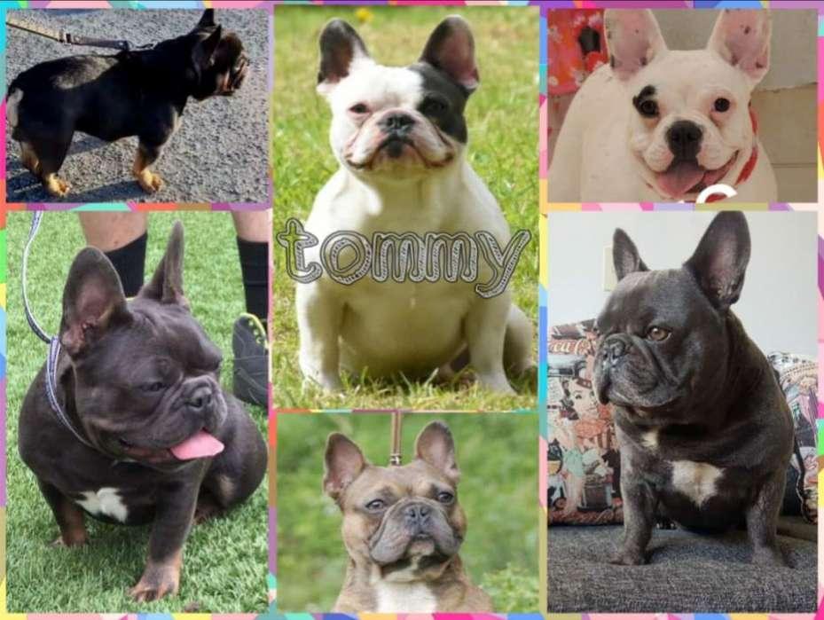 Bulldog Francés Blu Pied Doy Coopropieda