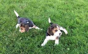 elegantes <strong>beagle</strong> tricolor 13 pulgada