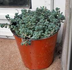 sedum dasyphyllum minor maceta 10
