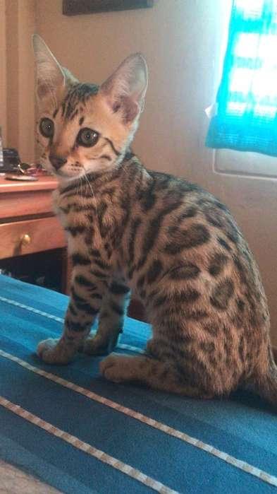 Vendo Gato Bengali