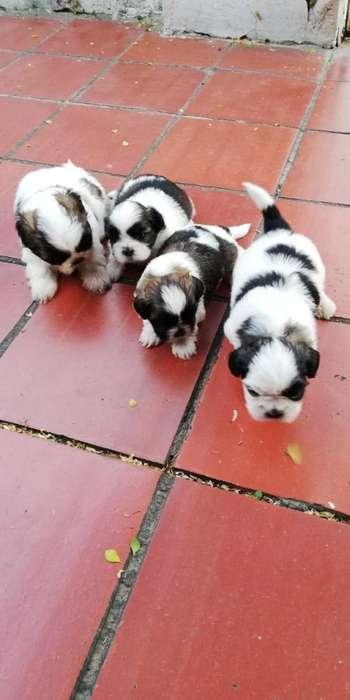 Vendo perritos chitzu