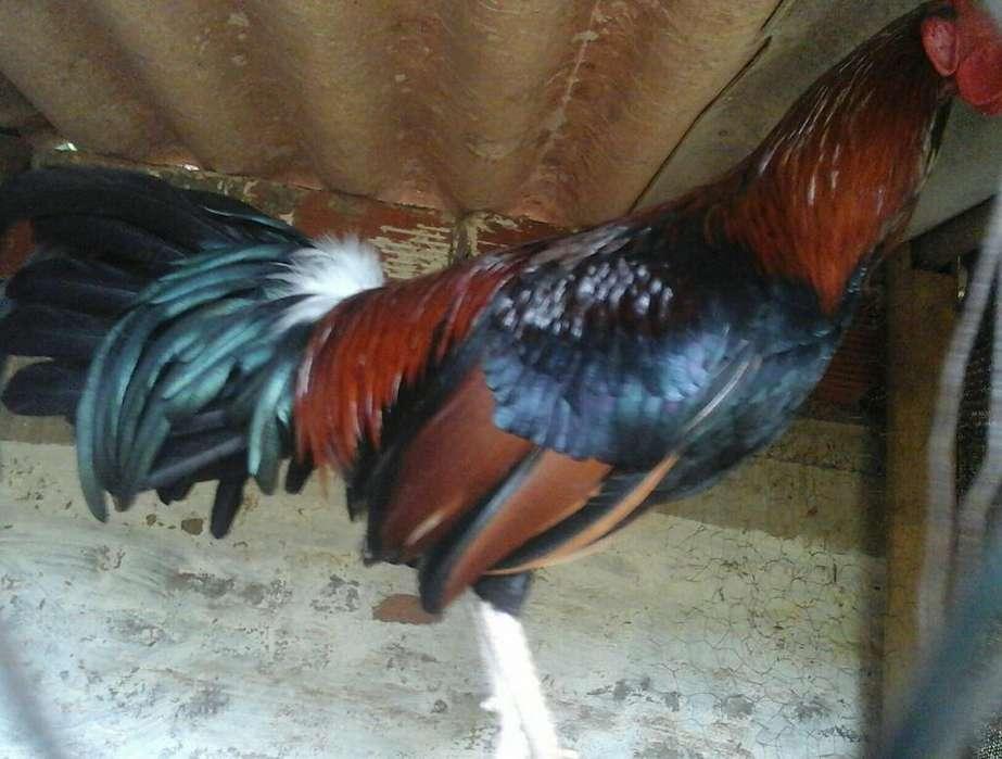 a La Venta <strong>gallo</strong>s
