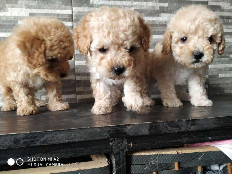 Hermosos Cachorros Caniches