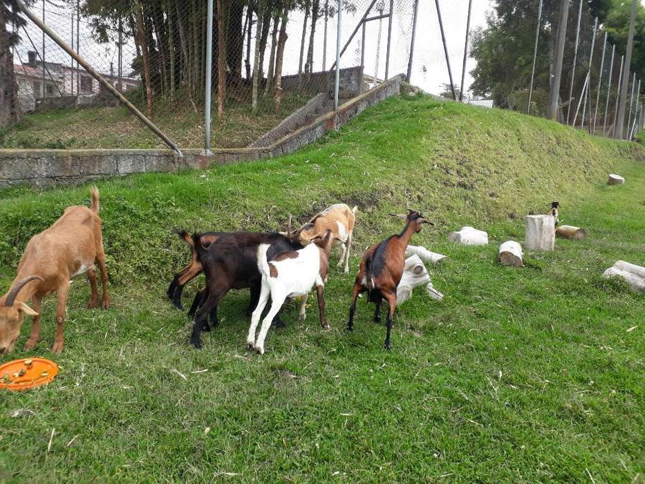 Busco Hogar para Rebaño de 8 Cabras
