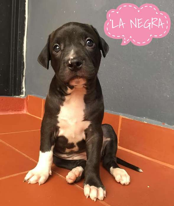 Cachorra American Pitbull <strong>terrier</strong>