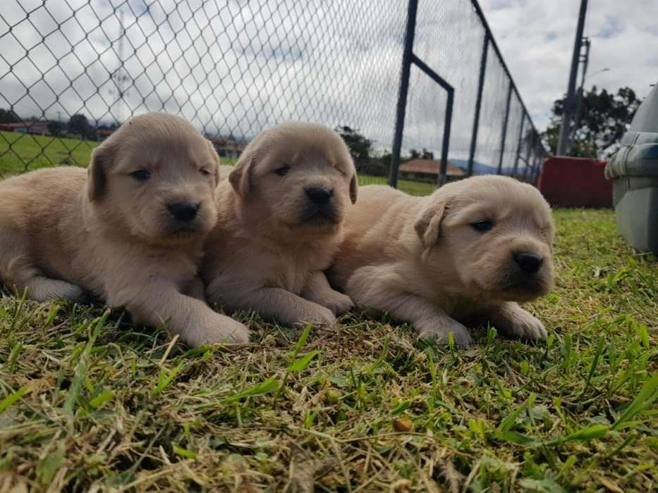 Hermosos Golden.