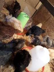 Pollitos Nacidos de Huevo Verde
