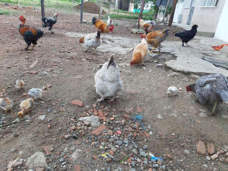 Pollos de Patio
