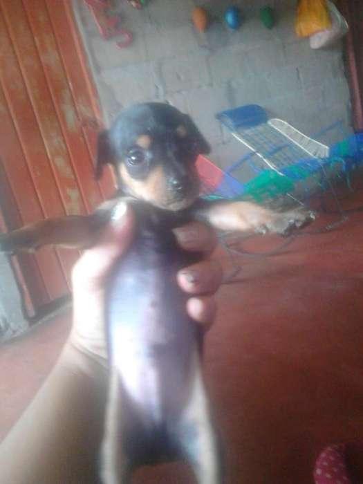 Vendo Perritos Pincher 3214121202