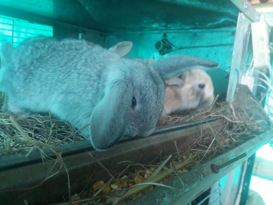 Conejos Belier de Orejas Caídas