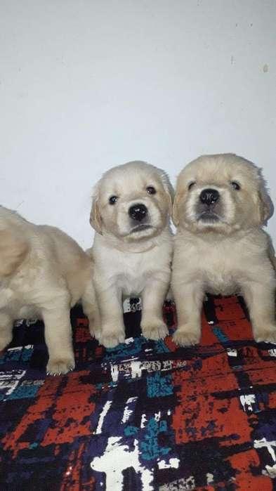 Increibles Perros Raza Golden a La Venta