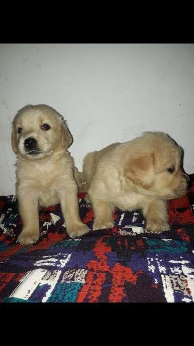 Excelentes Cachorros Golden Retriever