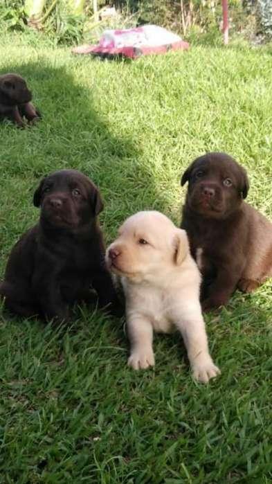 Se Vende Hermosos <strong>cachorro</strong>s Labradores