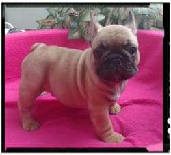 Bulldog  Frances  HEMBRA AL 995476201