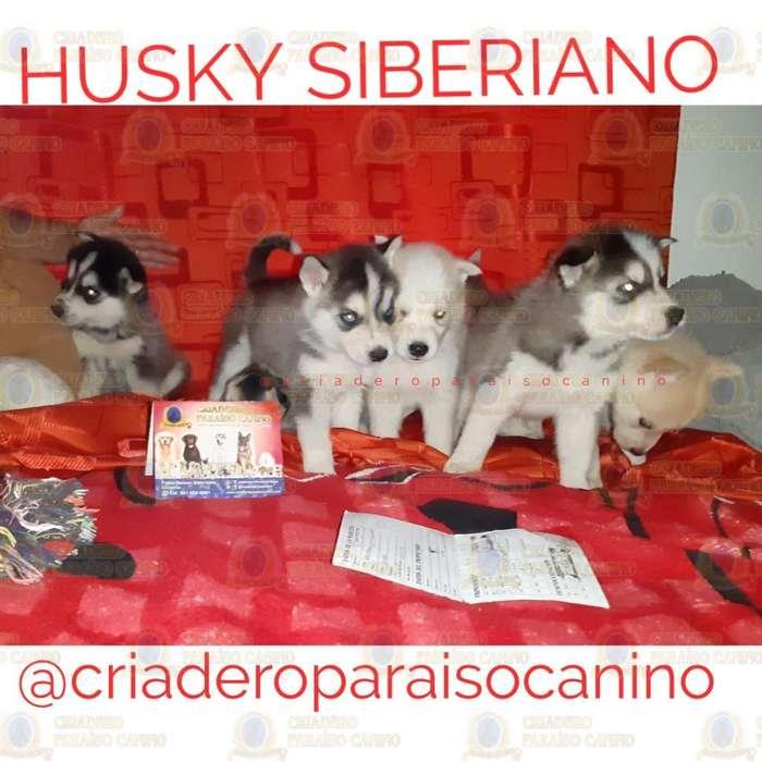 Cachorritos Husky Siberianos