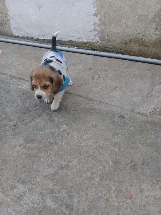 Beagle Miniatura