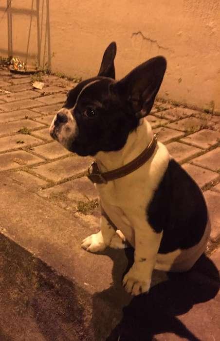 Hermoso Bulldog Frances para Monta