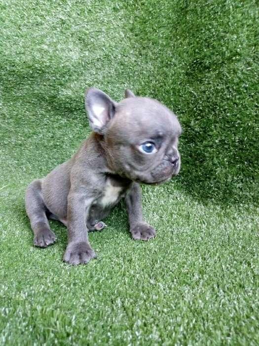 <strong>bulldog</strong> Francés Macho Blue