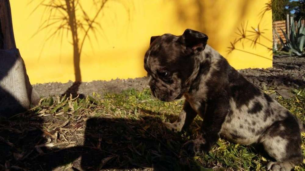 Bulldog ingls exotico BLACK MERLE