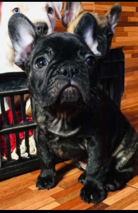 Vendo Macho Bulldog Frances con Fca