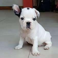 perrp venta <strong>bulldog</strong> frances vaquita cachorros