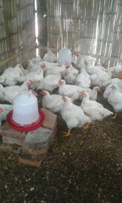 Vendo Pollos de 6 Y 7 Libras 200