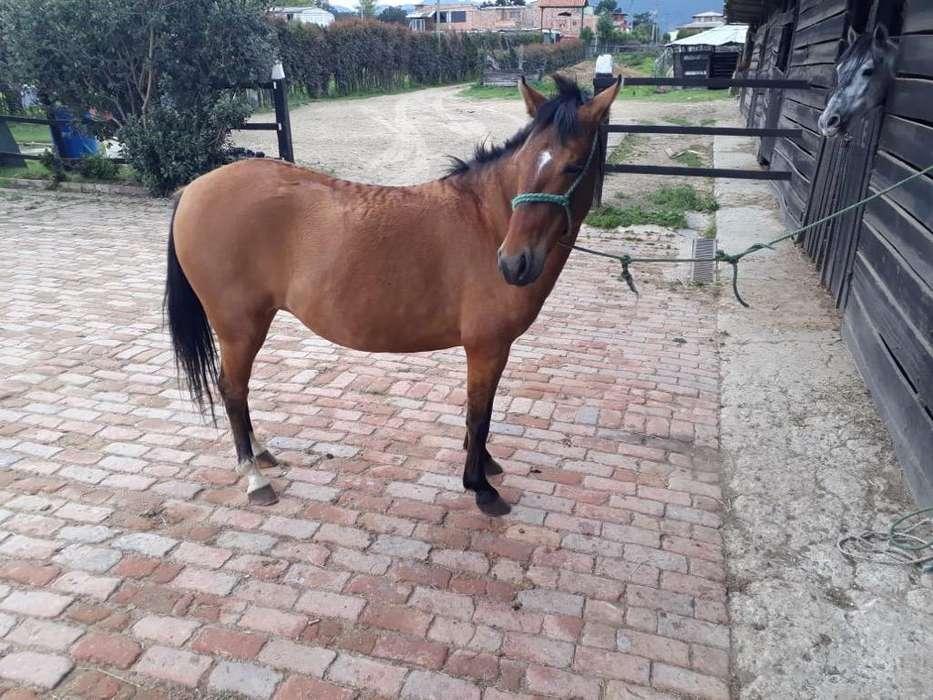 Hermosa Semi Pony Hembra Preñada