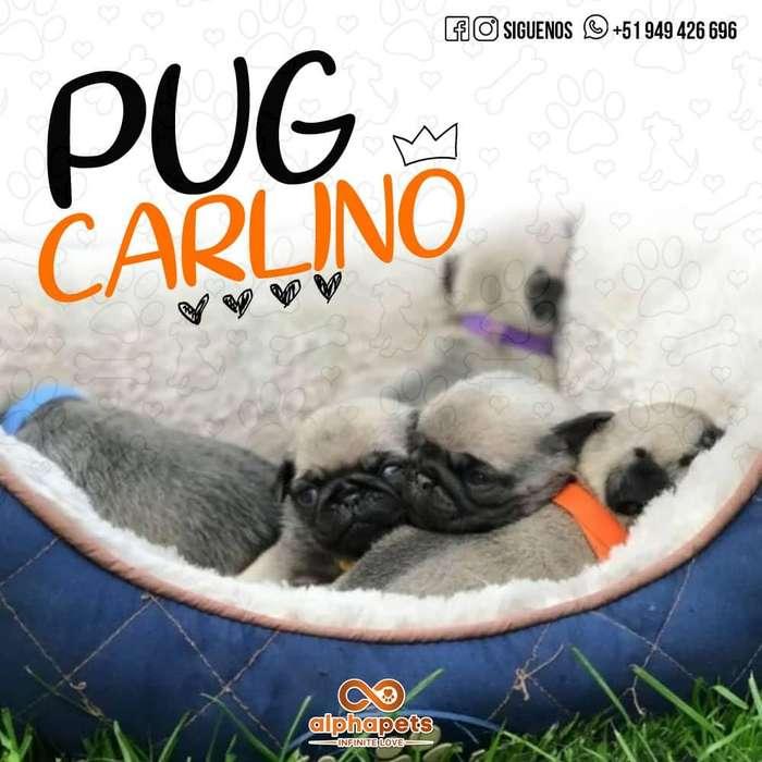 DESLUMBRANTES <strong>cachorro</strong>S PUG CARLINO - ENVIÓ NACIONAL E INTERNACIONAL ALPHA PETS