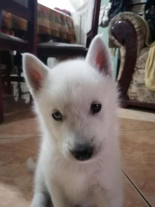 Se Vende Cachorro Huski Blanco