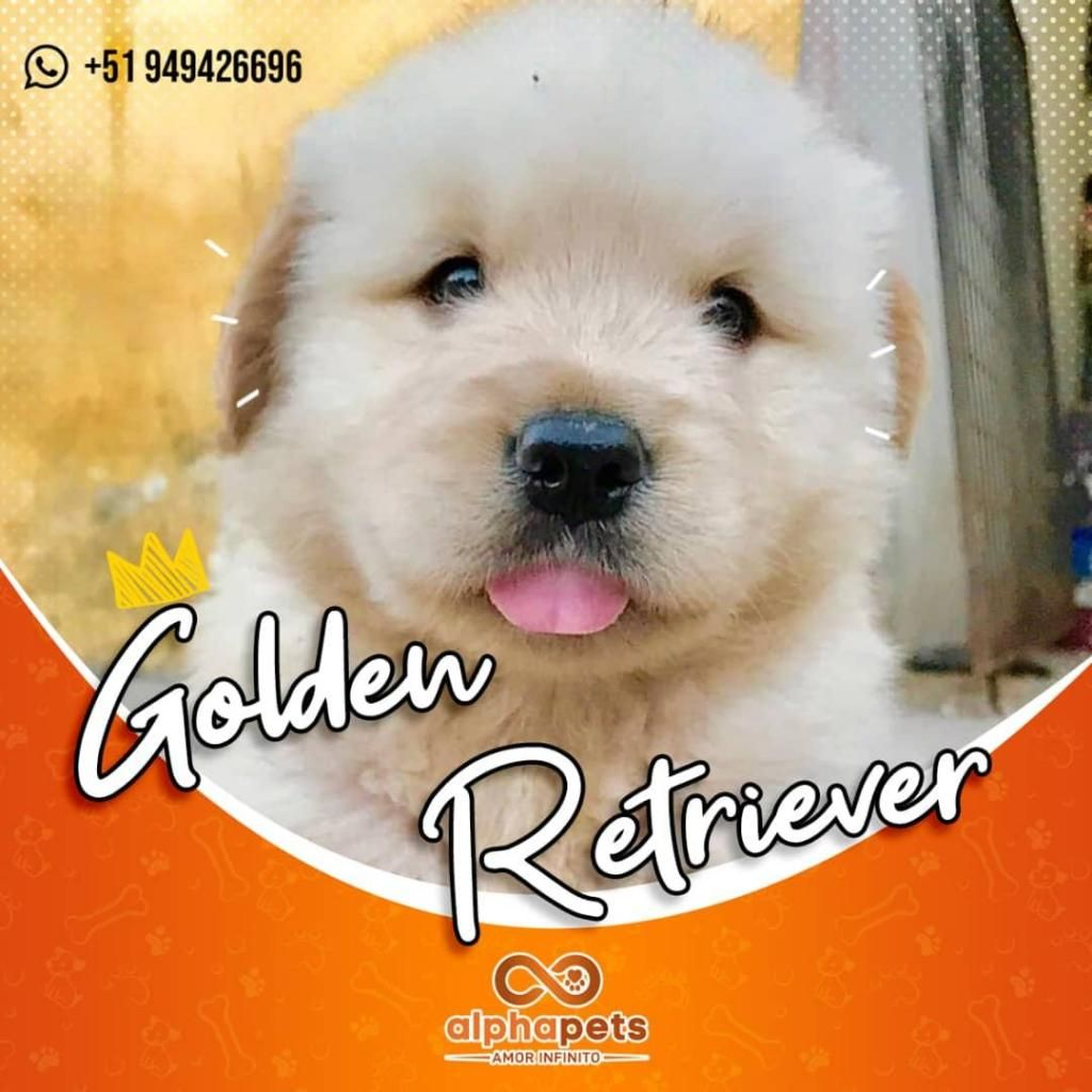 ESPLENDIDOS CACHORROS GOLDEN RETRIEVER EXCLUSIVOS ENVIÓ NACIONAL E INTERNACIONAL ALPHA PETS PERÚ